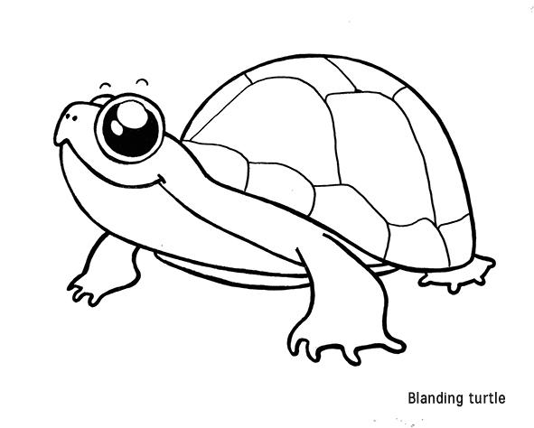 blanding turtle nom
